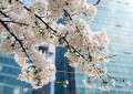Best of 2014 Cherry Blossoms in Seoul (with Pics)