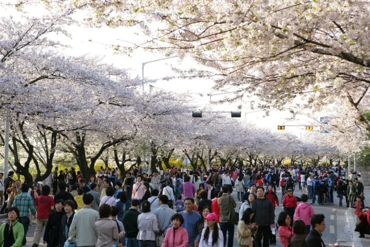 A Typical Cherry Blossom Crowd in Korea